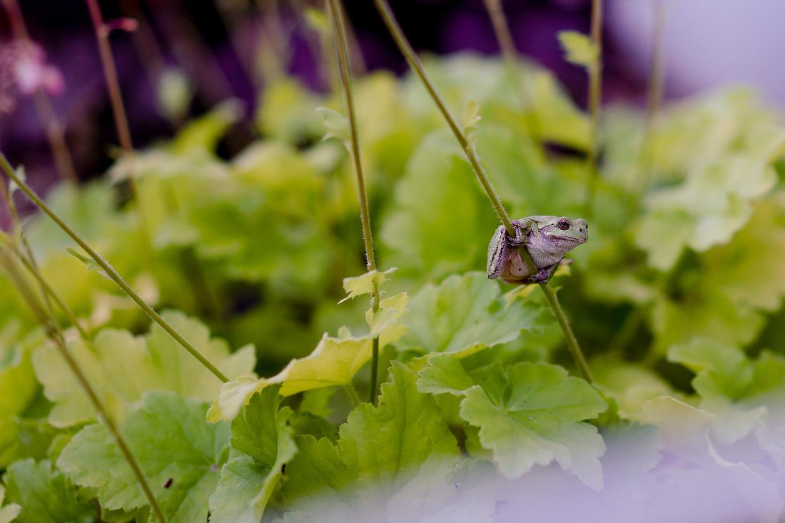 Tree-frog-102