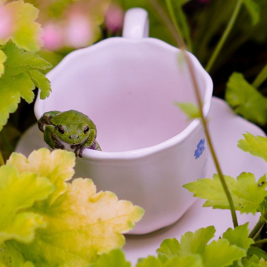 Tree-frog-91