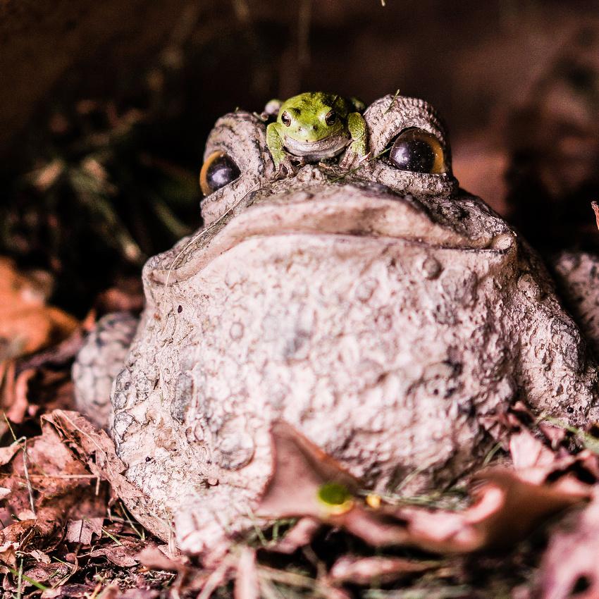 Tree-frog-108