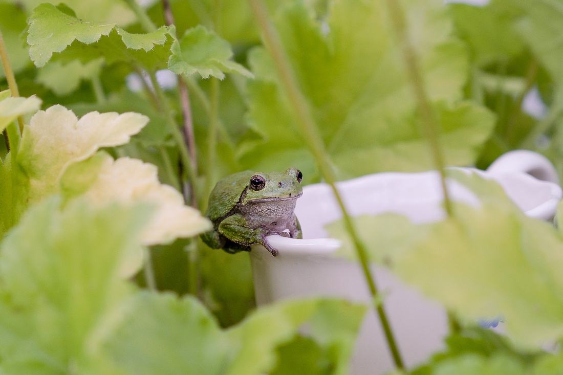 Tree-frog-98